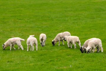 Little Lambs is Restarting!